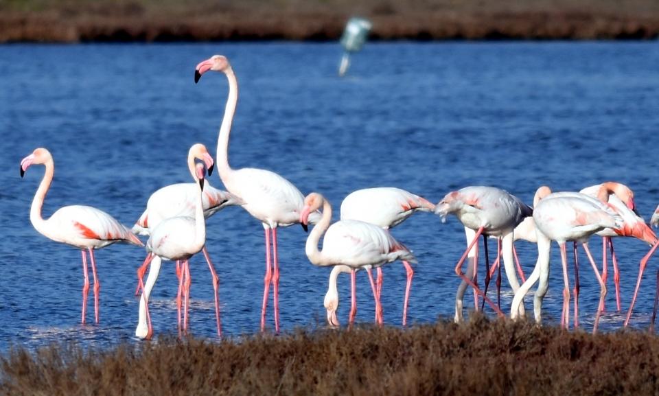 Tuzla Sulak Alanı  flamingolarla şenlendi
