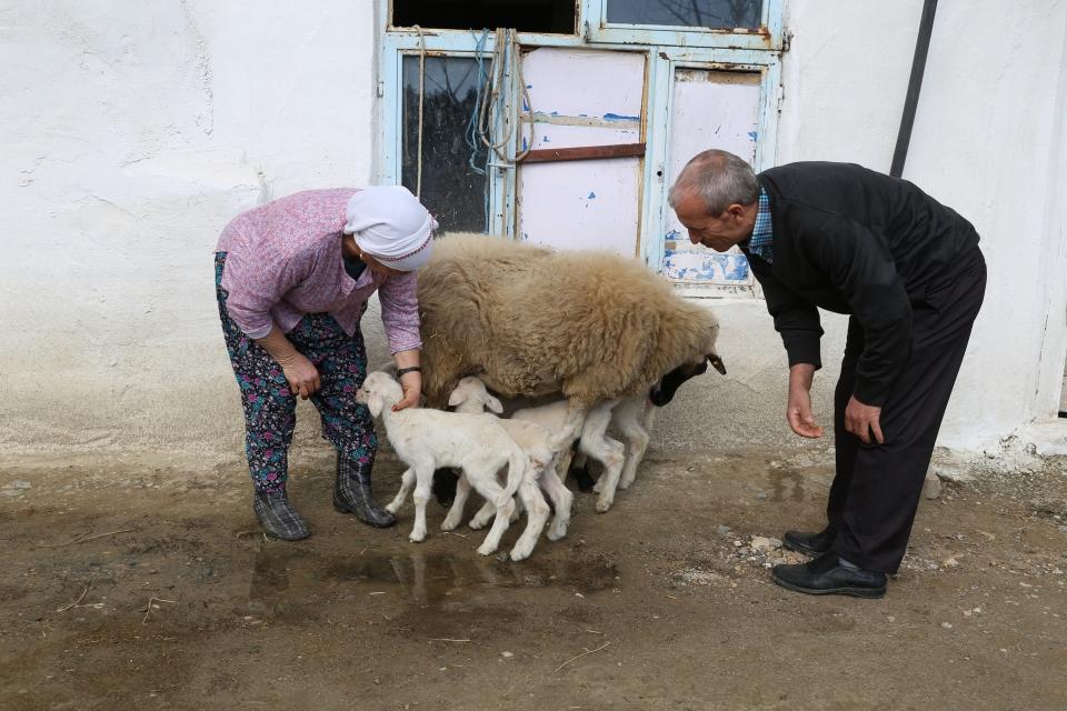 Kavaklıdere'de bir koyun beşiz yavruladı