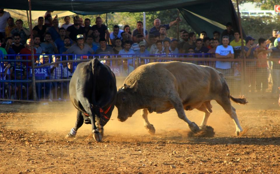 3. Kötekli Boğa Güreşleri Festivali düzenlendi