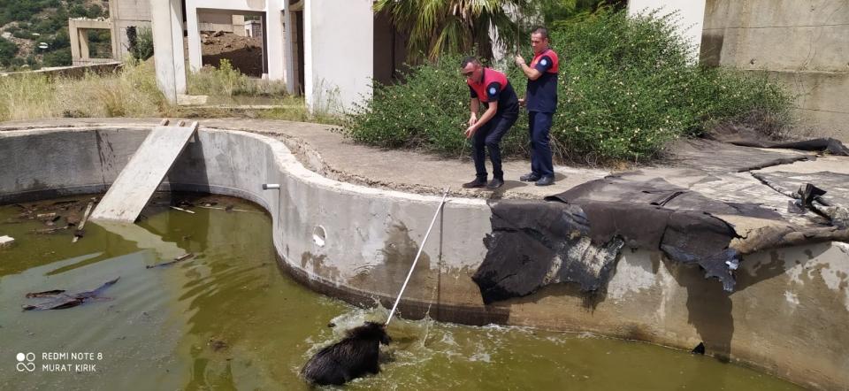 Havuza düşen domuzları itfaiye ekibi kurtardı