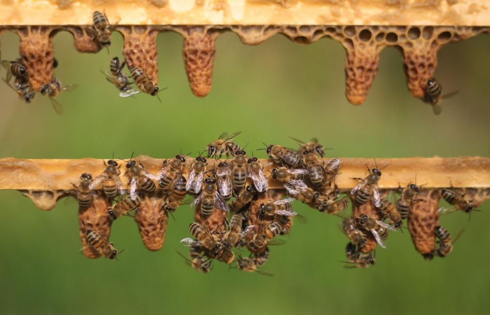 Kraliçe arılar