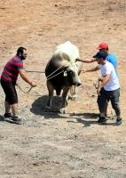 2. Karaova Boğa Güreşleri Festivali yapıldı