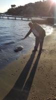 Hekimköy'de başı olmayan caretta caretta sahile vurdu