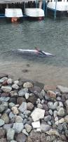 Yahşi'de ölü  yunus kıyıya vurdu