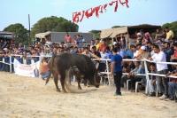 Milas'ta Boğa Güreşi Festivali yapıldı