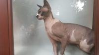 Bodrum'da sanayide Sfenks kedisi bulundu