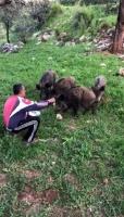 Aç kalan yavru yaban domuzları ekmekle besledi