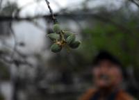 Mevsimin ilk badem çağlalarının hasadı Datça'da başladı