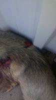 Köpeğin av tüfeğiyle vurulduğu iddiası