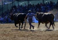 Muğla'da Boğa Güreşi Festivali yapıldı