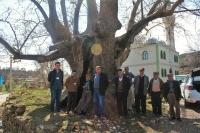 Muğla tarihinin tanığı ağaçlar