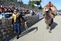 Bodrum Deve Güreşi Festivali