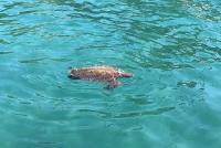 Bodrum'da su yüzeyinde ölü caretta caretta bulundu