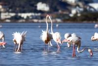 Tuzla Sulak Alanı'na gelen flamingolardan görsel şölen