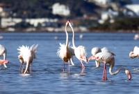 Tuzla Sulak Alanı'na flamingo akını