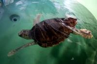 DENİZ ÇAYIRLARININ  kaplumbağa