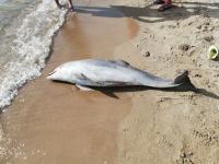 Akyarlar'da ölü yunus sahile vurdu