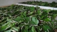 İpek Böcekçiliği projesi başladı