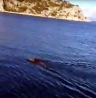 Deniz ortasında yüzen domuz gören balıkçılar şok oldu
