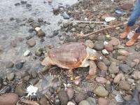 Bodrum'da 40 kilogramlık ölü caretta caretta sahile vurdu
