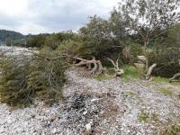 Akbük Koyu'nda çok sayıda ağaç kesildi