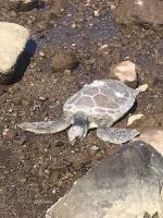 Ölü caretta caretta Bodrum'da  sahile vurdu