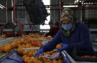 Muğla'dan 2020'de 39 ülkeye 90 bin ton yaş sebze ve meyve ihracatı yapıldı