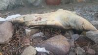 Bodrum'da ölü caretta caretta