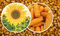 DALAMAN TARIM İŞLETMESİ MÜDÜRLÜĞÜ Hibrit mısır ve hibrit ayçiçeği tohumu satın alacak