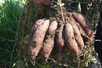 Kırmızı patates Datça topraklarına uyum sağladı