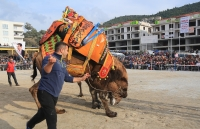 Milas'ta deve güreşi festivali