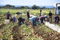 Hasadına başlanan turfanda patates verimi ve fiyatıyla üreticisini sevindirdi