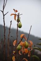 Muğla'da armut ve erik ağacı meyve verdi