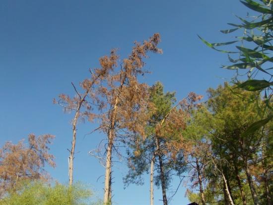 """Marmaris'te kabuk böceği alarmı: """"Kuruyan ağaç gören bize haber versin"""