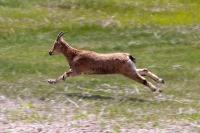 Köyceğiz'de yaban keçisi avlanma kotası ihale edilecek