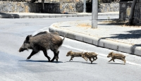Bodrum'da aç kalan domuz sürüsü ilçe merkezine indi