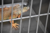 Sokakta bulunan iguana koruma altına alındı