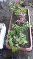 Belediye, seralarında yetiştirdiği  bitkilerle Bodrum'u güzelleştiriyor
