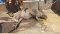 Bodrum'da yaralı domuza vatandaşlar sahip çıktı