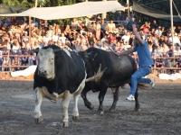 Boğa Güreşi Festivali'ne 120 boğa katıldı