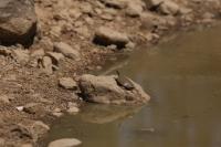 Susuz kalan kaplumbağalara