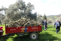 450 zeytin ağacı budandı, odunlar ihtiyaç sahiplerine dağıtılıyor