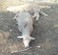 Sokak köpeklerinin saldırdığı 10 küçükbaş hayvanın telef olduğu öne sürüldü