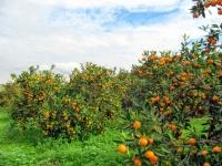 Bodrum mandalinasının  kokusu ABD'ye taşındı